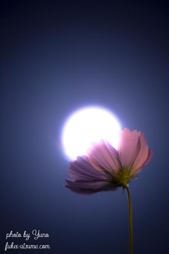 コスモス・秋桜・月・満月・月夜