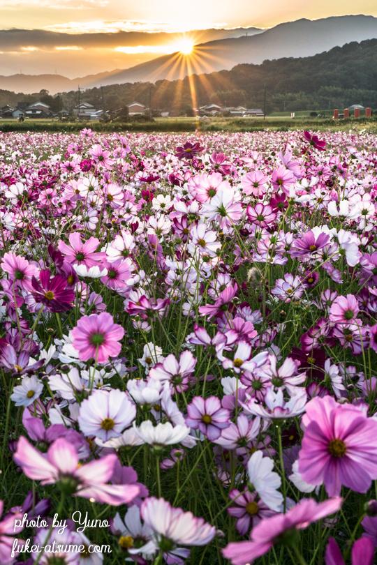 奈良・藤原宮跡・コスモス畑・秋・朝陽・日の出・夜明け1