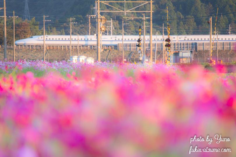 滋賀県近江八幡市・野田町コスモス畑・秋桜・新幹線