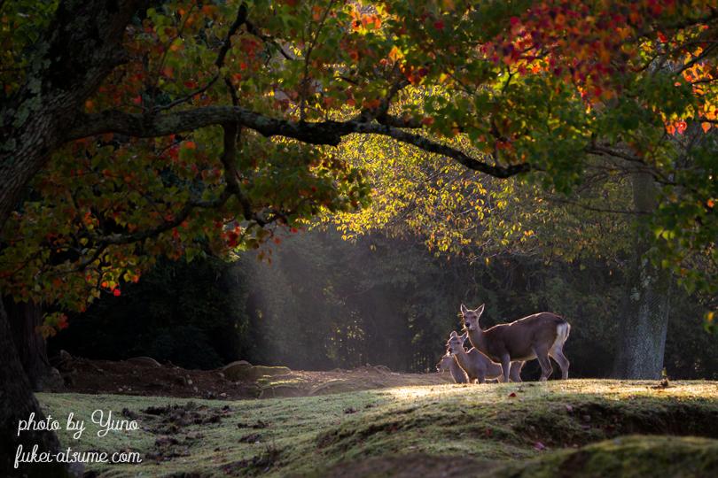 奈良公園・鹿・早朝・紅葉・秋・光2