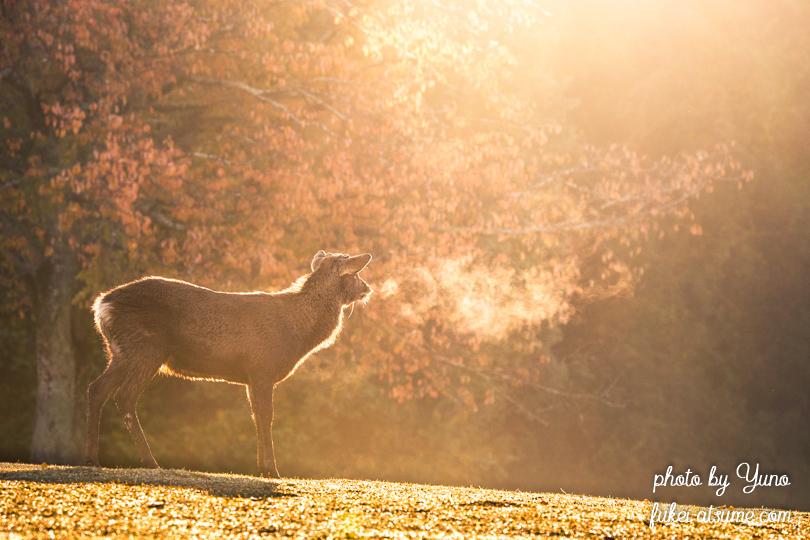 奈良公園・鹿・早朝・紅葉・秋・光・逆光3