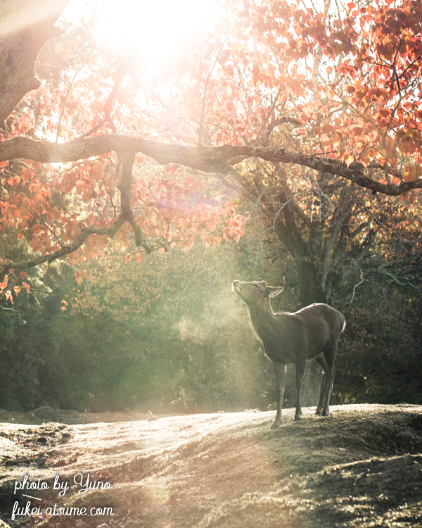 奈良公園・鹿・早朝・紅葉・秋・朝陽・朝の光