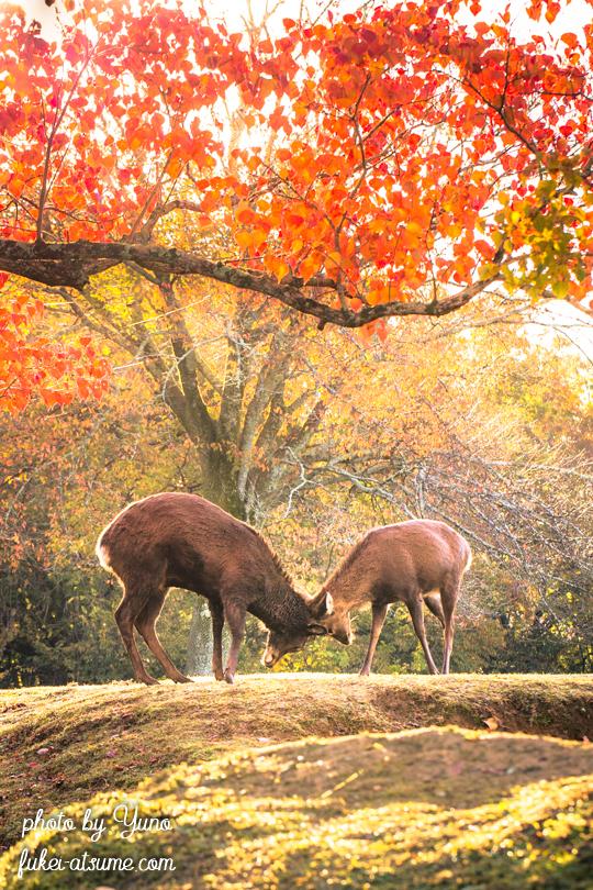 奈良公園・鹿・早朝・紅葉・秋・オス鹿同士・角のつきあわせ