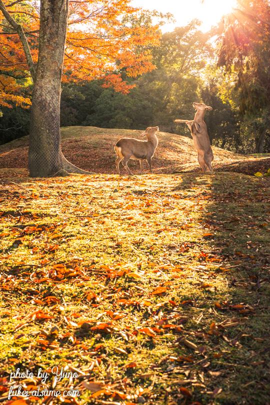 奈良公園・鹿・早朝・紅葉・秋・光・逆光5