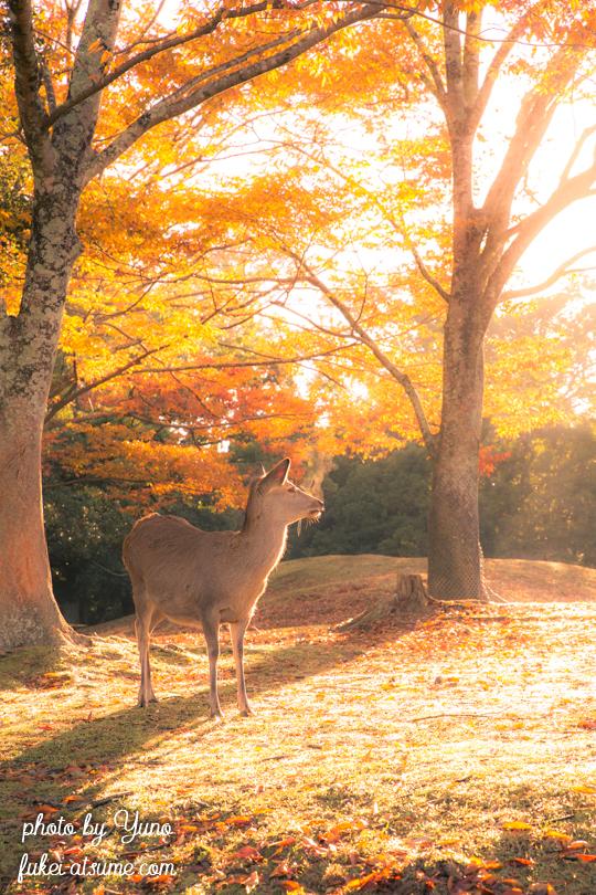 奈良公園・鹿・早朝・紅葉・秋・光・逆光6