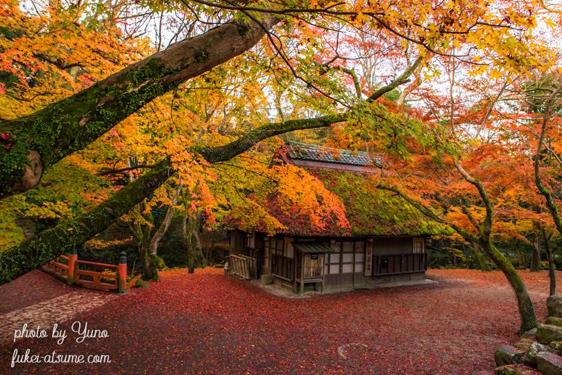 奈良公園・水谷茶屋・紅葉・晩秋・色づく・鹿・敷紅葉1