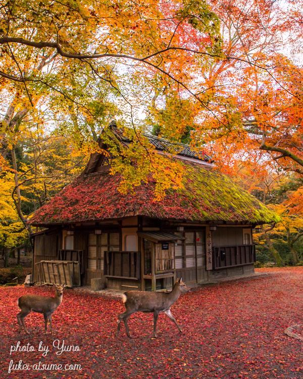 奈良公園・水谷茶屋・紅葉・晩秋・色づく・鹿・敷紅葉4