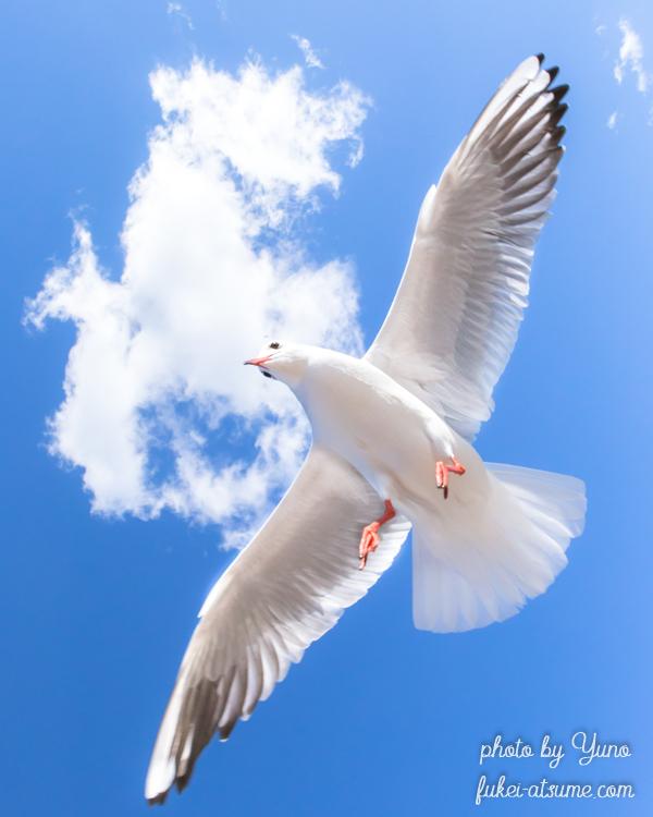 ユリカモメ・空中遊泳・飛翔・翼広げて・滑空・鳥・雲・青空