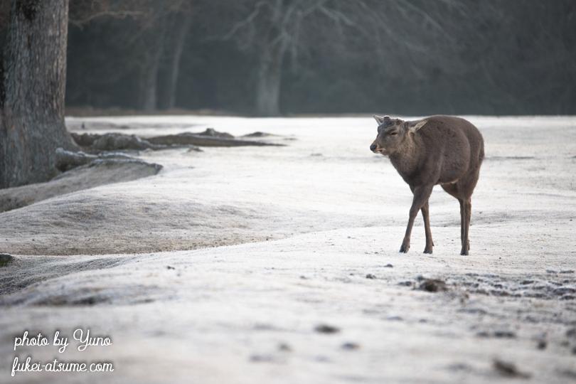 奈良公園・鹿・早朝・冬・霜・白銀世界2