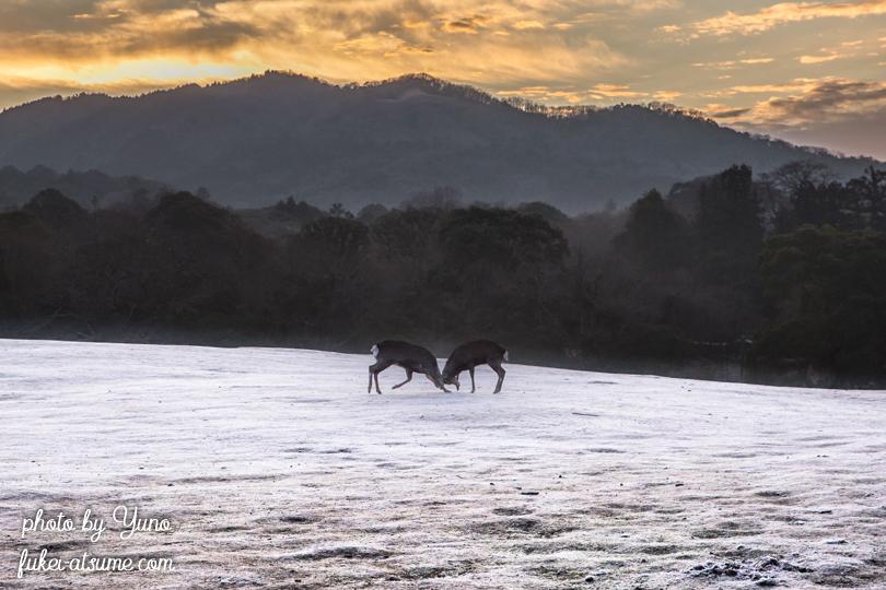 奈良公園・鹿・早朝・冬・霜・白銀世界3