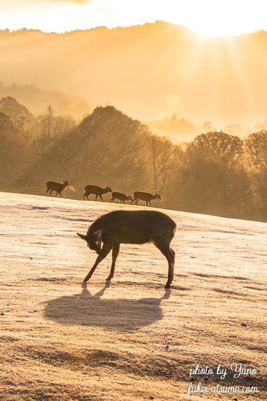 奈良公園・鹿・朝陽・日の出・朝焼け・早朝・夜明け・冬・朝霜