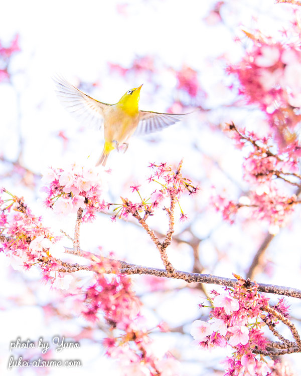 和歌山・那智駅・緋寒桜・メジロ・春・早咲き桜