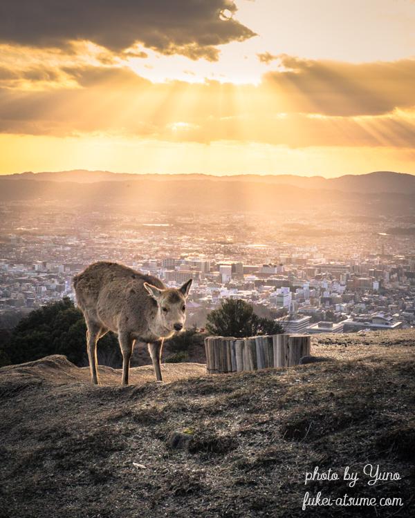 奈良県・若草山・夕日・夕陽・夕焼け・鹿・光芒・光のシャワー・斜光