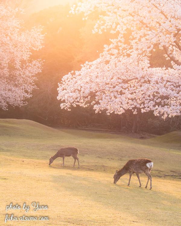 奈良公園・桜・鹿・朝陽