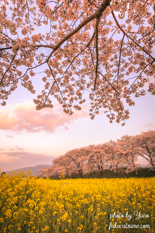 奈良・藤原宮跡・桜・菜の花・夕暮れ・月・夕月