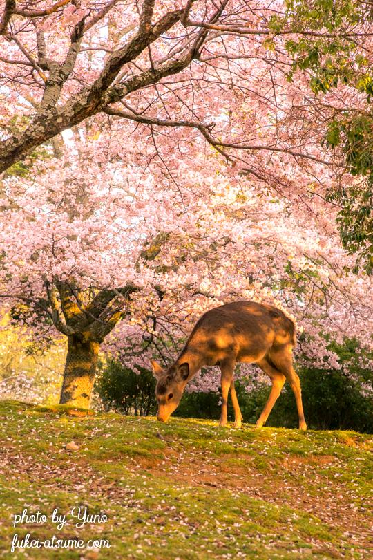 奈良公園・桜・鹿・夕陽・春