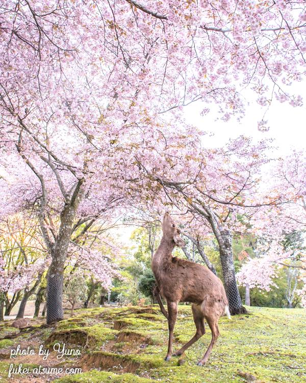 奈良公園・鹿・桜・春
