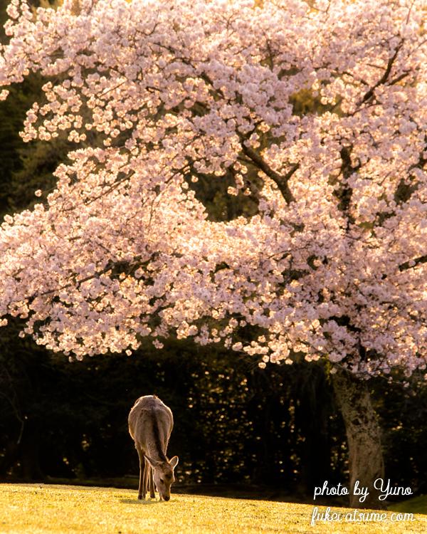 奈良公園・桜・鹿・早朝・春