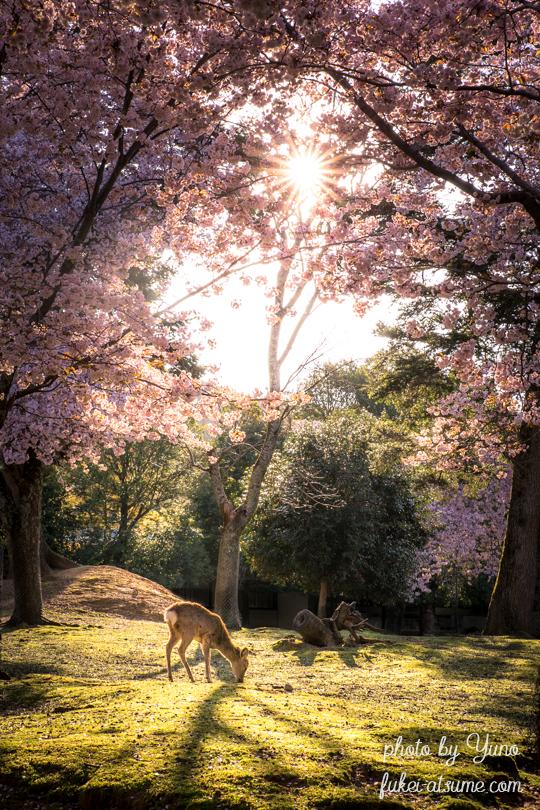 奈良公園・桜・鹿・朝陽・春2