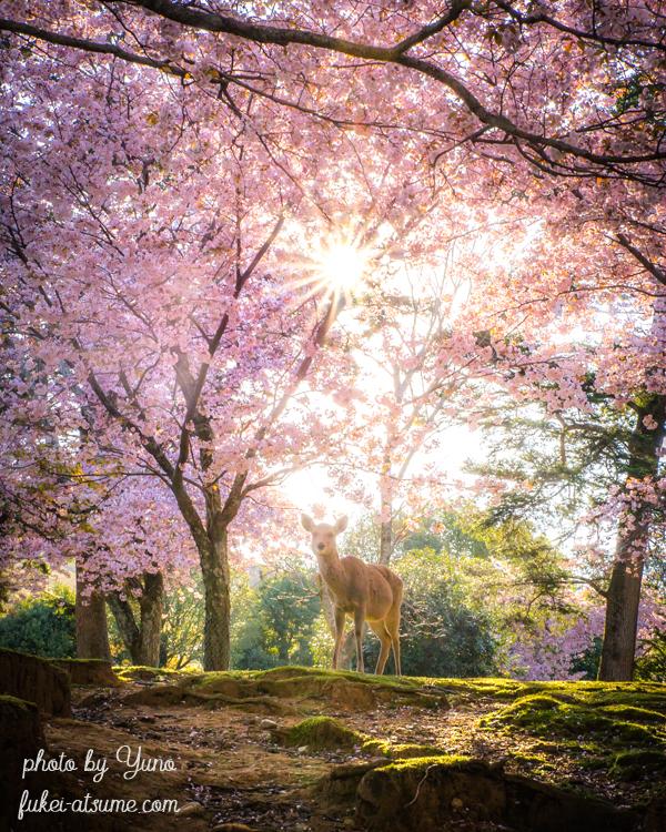 奈良公園・桜・鹿・朝陽・春3
