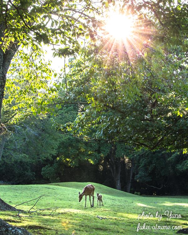 奈良公園・鹿・子鹿・バンビ・夏の朝