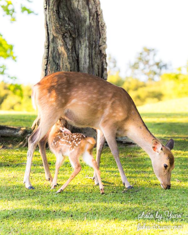 奈良公園・鹿・子鹿・バンビ・母鹿・愛情・乳飲み子
