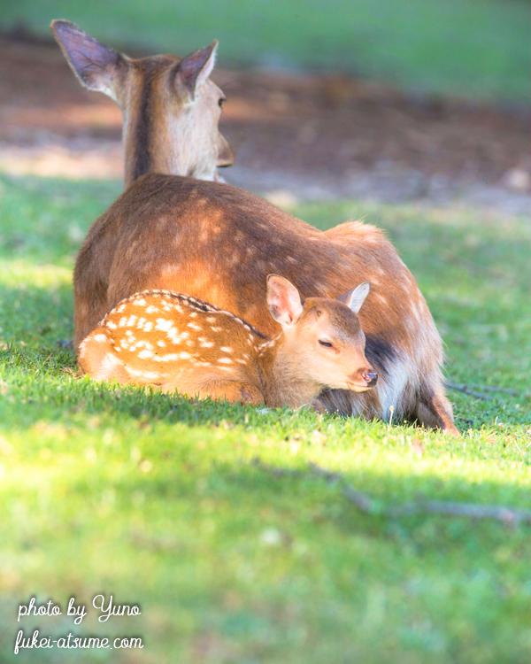 奈良公園・鹿・子鹿・バンビ・昼寝・うたた寝