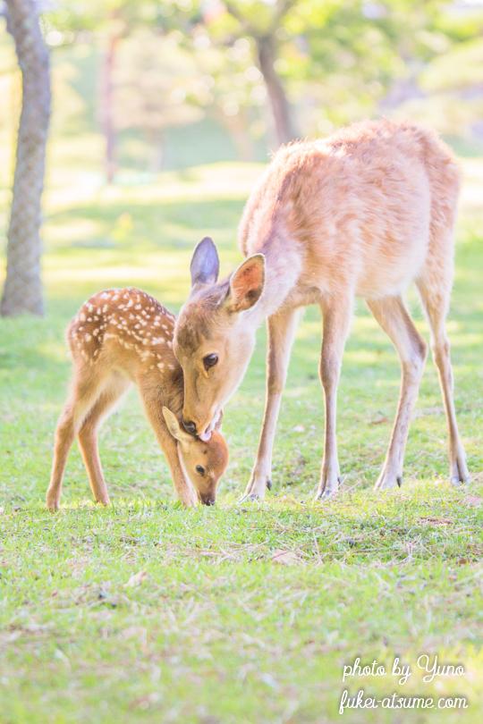奈良公園・鹿・子鹿・バンビ・母鹿・愛情