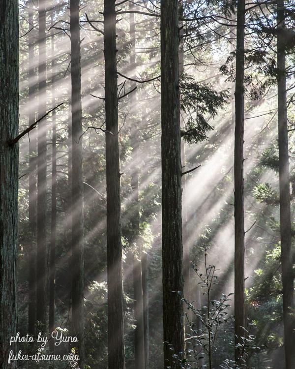 光・斜光・光芒・木立・杉林・霧・森