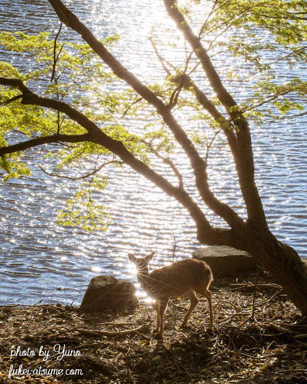 奈良公園・鹿・光・逆光・水・輝き・煌めき