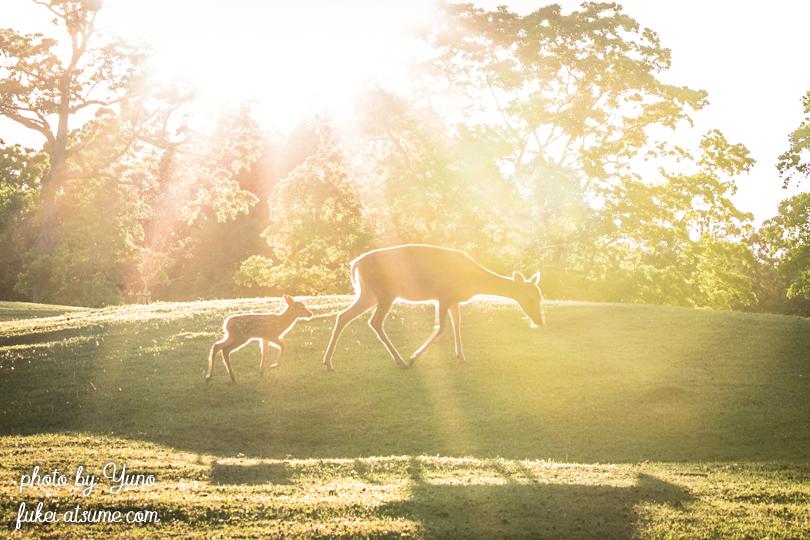 奈良公園・鹿・親子・母子・子鹿・バンビ・早朝・朝陽・光