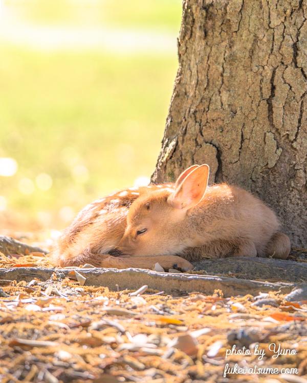 奈良公園・鹿・子鹿・バンビ・早朝・眠い