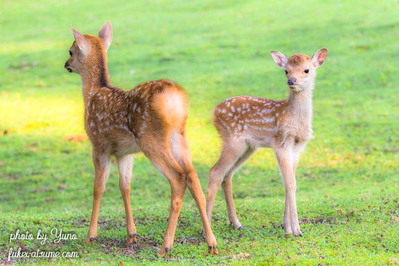 奈良公園・鹿・子鹿・バンビ