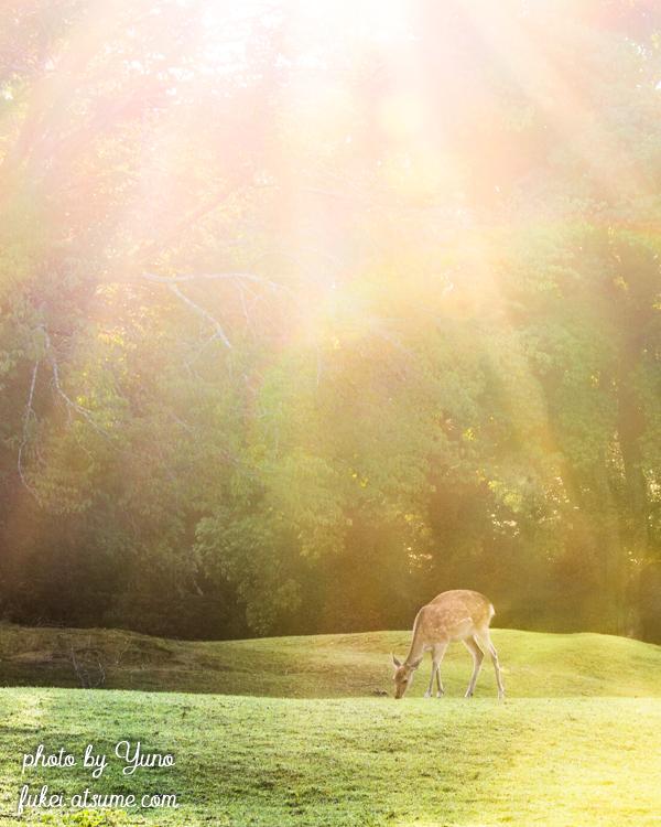 奈良公園・鹿・早朝・朝陽・光