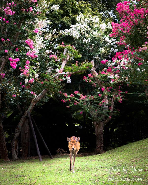奈良公園・百日紅・サルスベリ・鹿