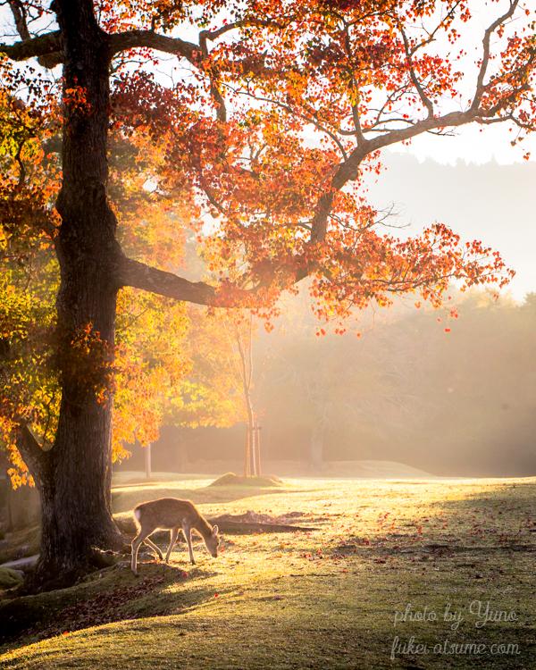 奈良・奈良公園・鹿・秋・早朝・紅葉・朝靄・霧