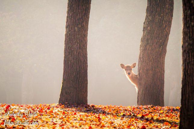 奈良・奈良公園・鹿・秋・早朝・紅葉・チラッ・可愛い・バンビ・子鹿