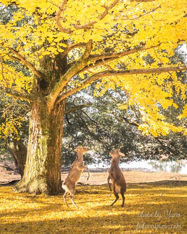 奈良・奈良公園・大仏池・東大寺・大銀杏・鹿・秋・早朝・黄色・紅葉・絨毯