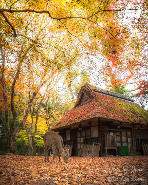奈良・奈良公園・水谷茶屋・秋・晩秋・落ち葉・紅葉