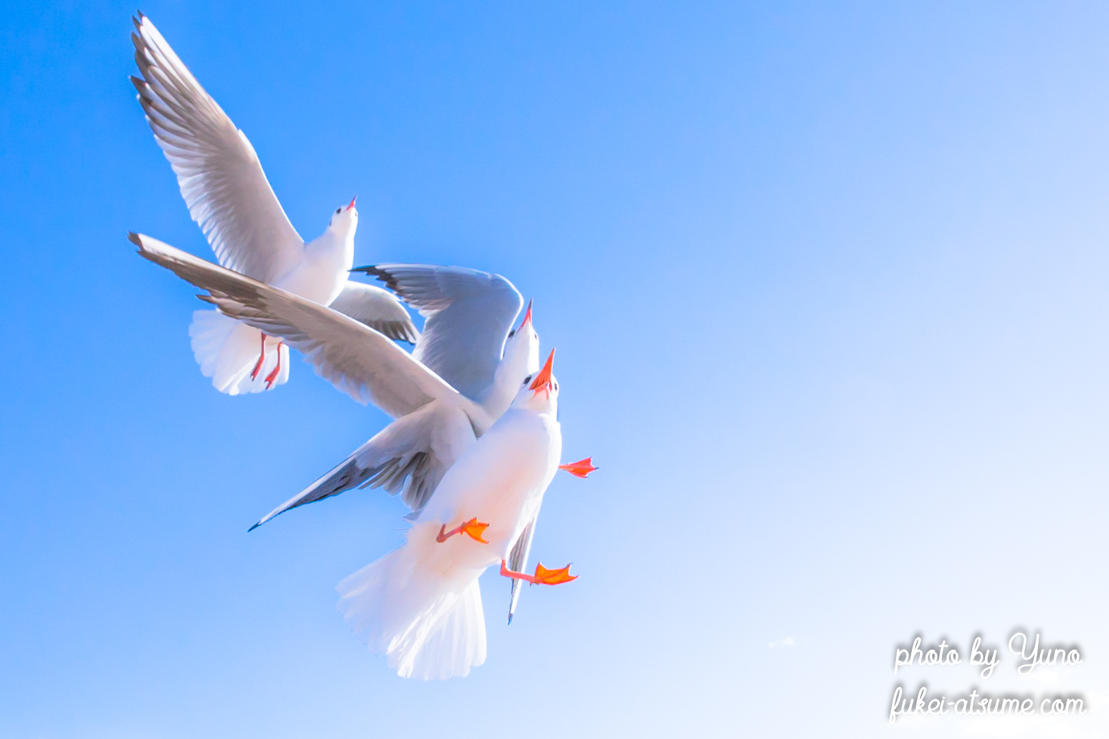 ユリカモメ・青空・鳥