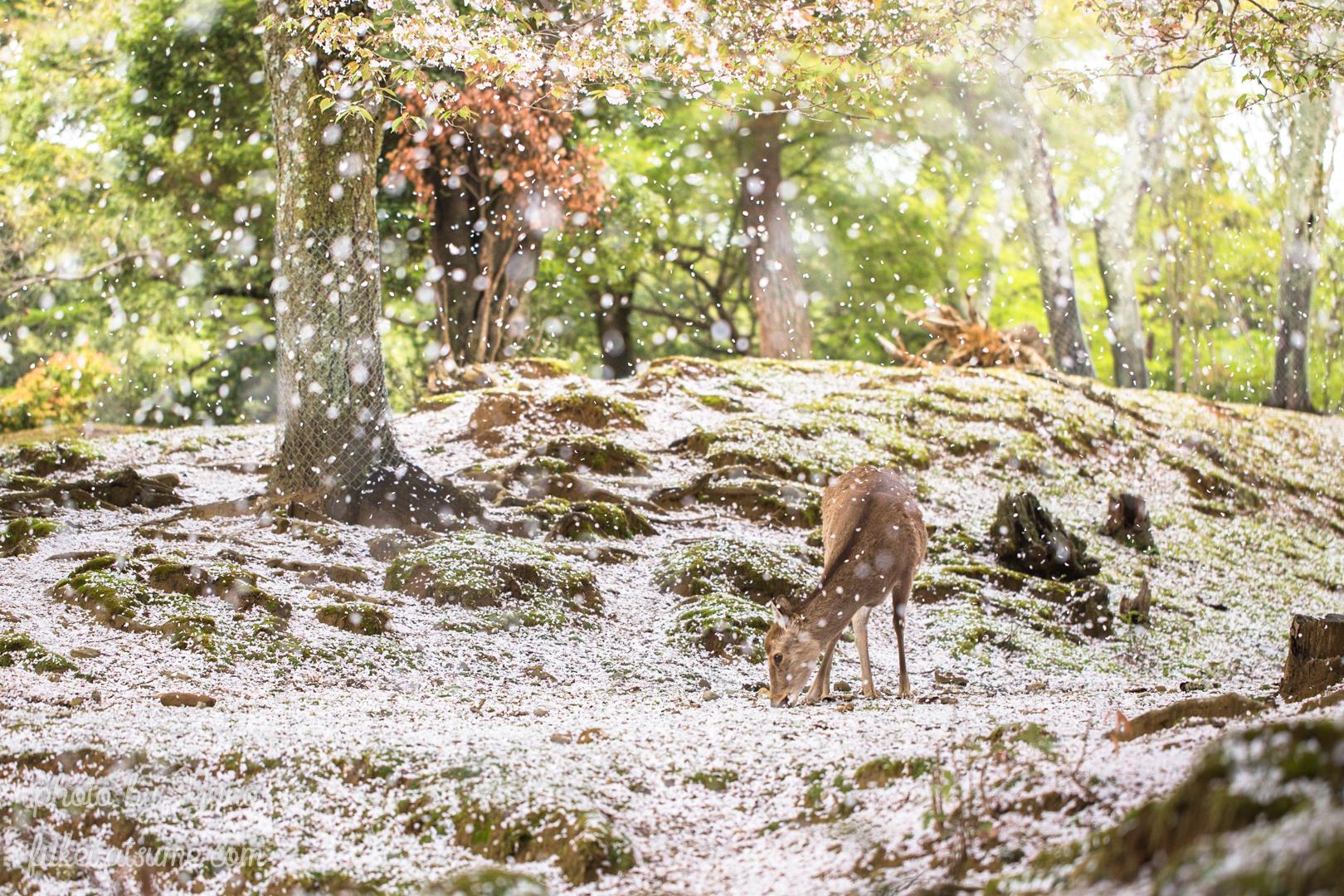 奈良公園・鹿・桜・桜吹雪・桜の絨毯・絶景