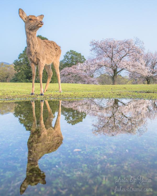 奈良公園・鹿・桜・リフレクション・春・水溜まり