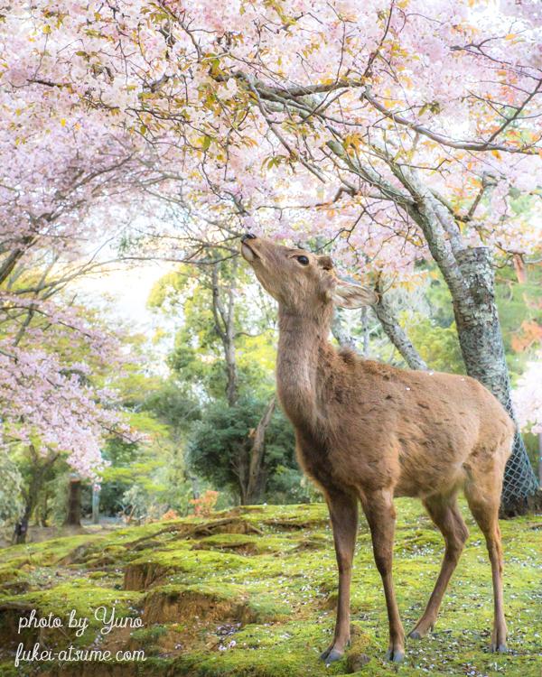 奈良・奈良公園・桜・鹿・春・風景
