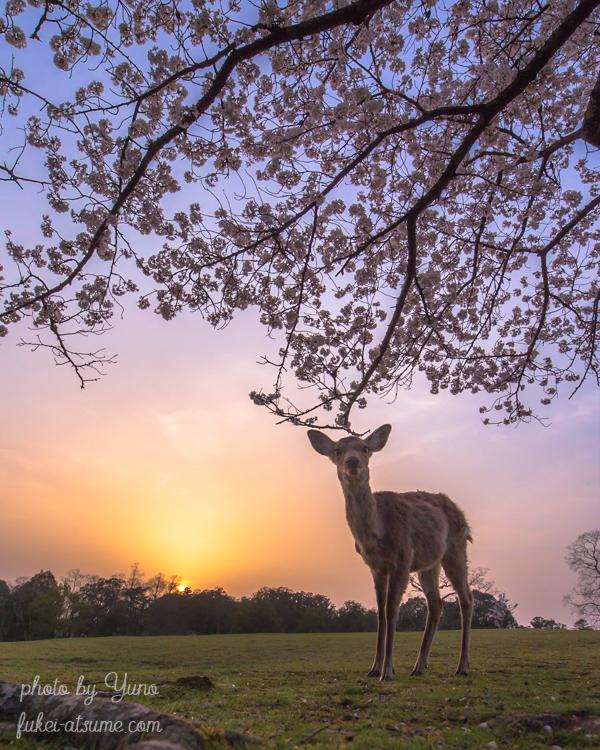 奈良公園・鹿・桜・満開・夕日・夕焼け・マジックアワー