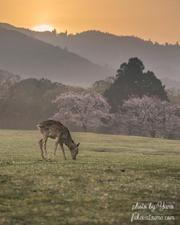 奈良公園・鹿・桜・満開・早朝・日の出