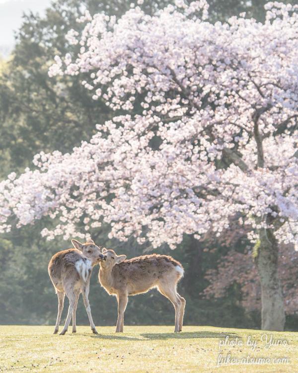 奈良公園・鹿・桜・春・ふれあい