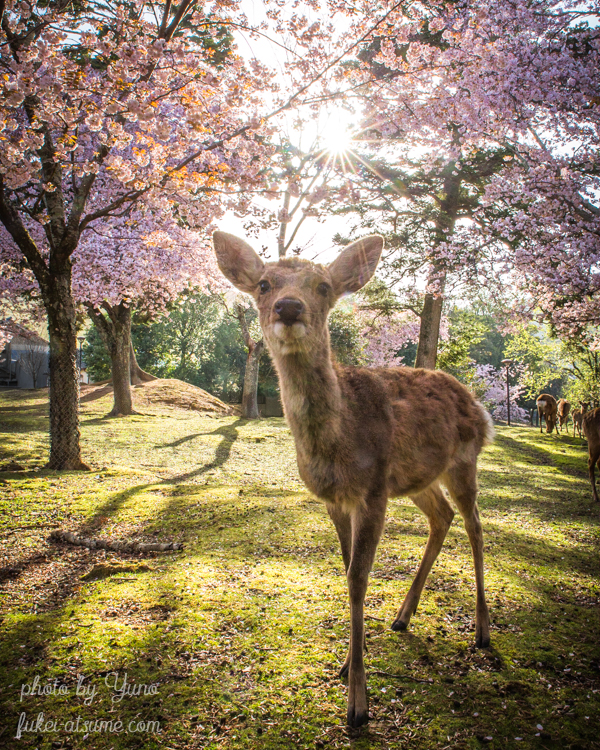 奈良公園・鹿・桜・満開・早朝・朝陽