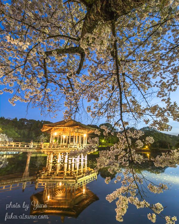 奈良公園・浮見堂・桜・満開・夜景・ライトアップ・リフレクション