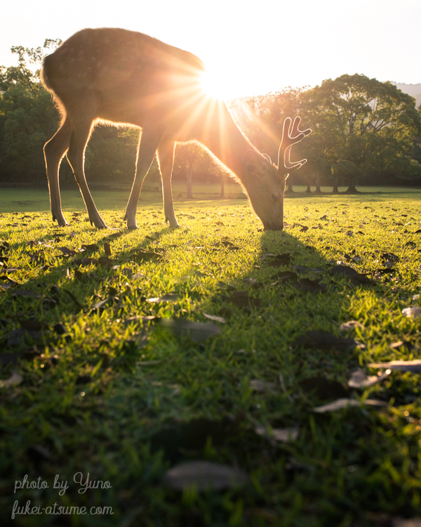 奈良公園・鹿・朝陽・日の出・角鹿