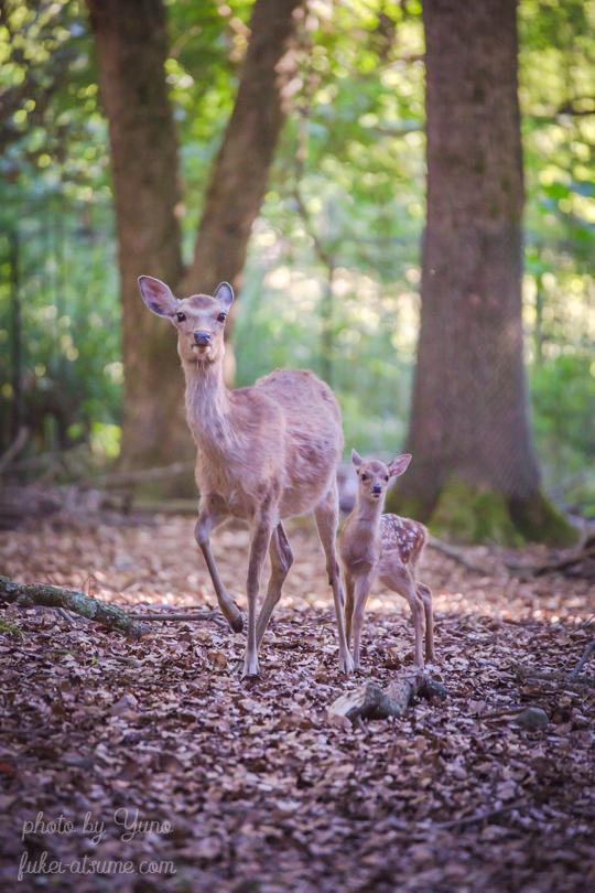 奈良公園・鹿・子鹿・バンビ・母子